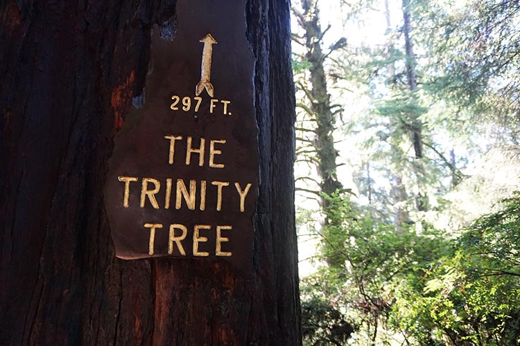 RV Camping Under the Giant Redwoods of Northern California. The Trinity Tree in the Trees of Mystery Park is almost 300 foot tall