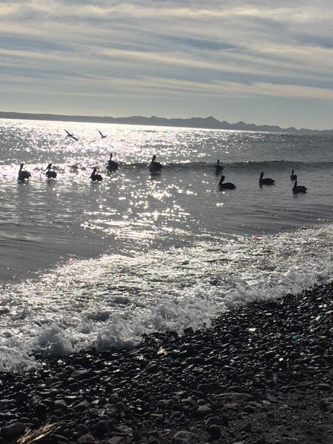 Pelicans on the water at Loreto - Photo by Juli Cooley