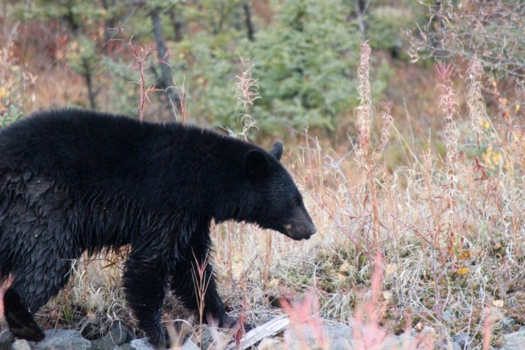 Just after the border we were greeted by a black bear on the road.
