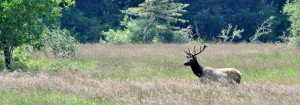 Oregon Elk