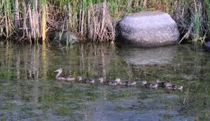 Ducks all in a row - C.