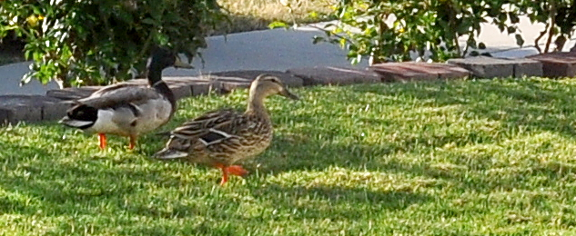 Monday Morning Ducks 2