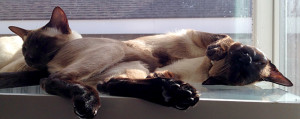 Mist and Smoke in Window (Siamese cats)