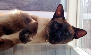 Smoke woke. (Siamese cats)