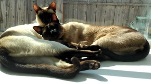 Mist & Smoke Window (Siamese cats)
