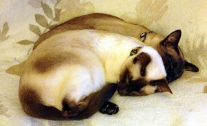 Sleep (Siamese cats)