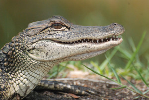 American Alligator -- Humor?