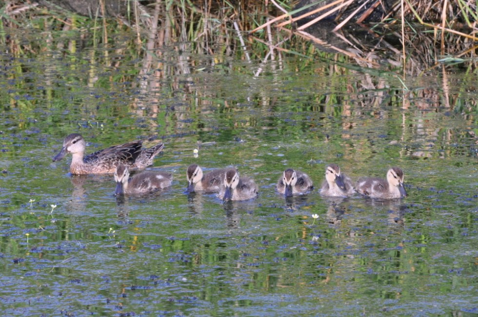 Minnesota Ducks - All in a Row