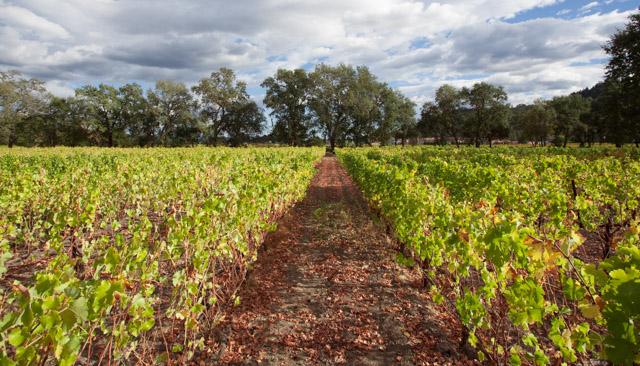 Sauvignon Blanc vineyard in St. Helena