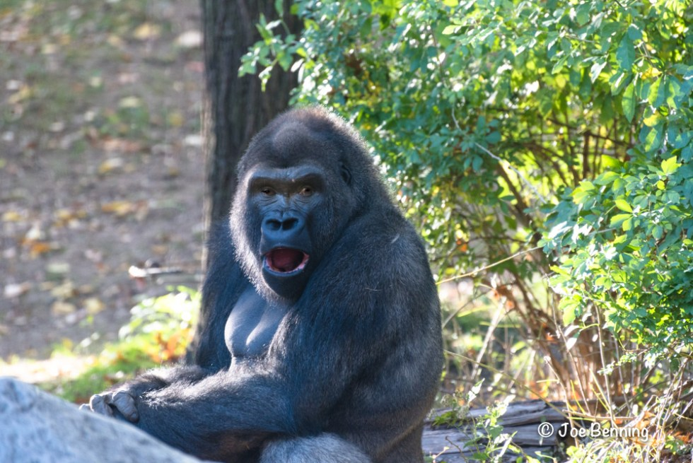 Gorilla looks surprised with wide-open mouth and eyes.