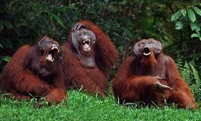 Apes Laugh