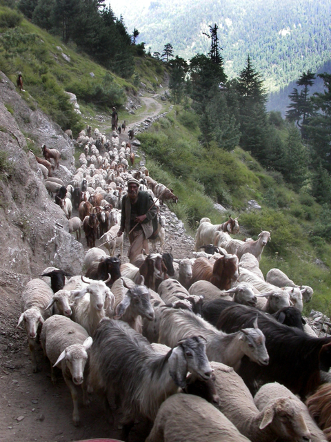 pakistan06_sheep
