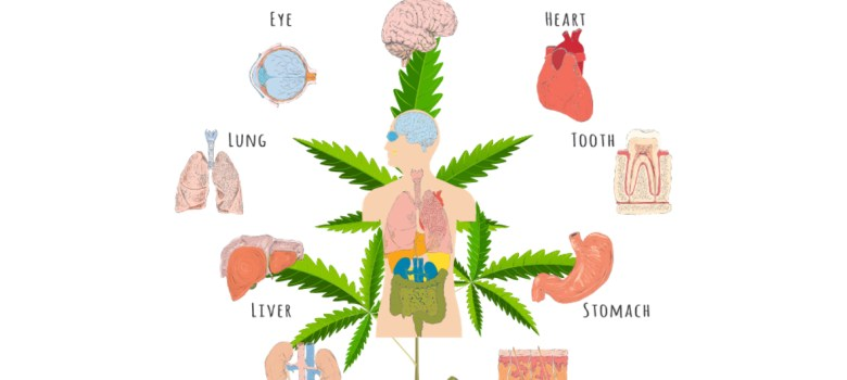 The Endocannabinoid System hemp cbd oil colorado
