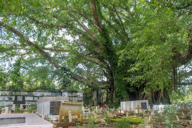 The huge Balete Tree in the middle of the Jimenez Catholic Cemetery