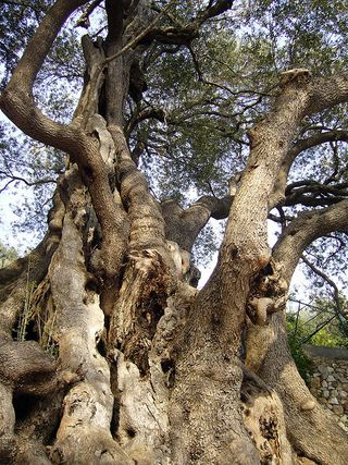 Plus Vieil Arbre Du Monde : vieil, arbre, monde, Arbres, Vieux, Monde, Pouvoir, Fleurs