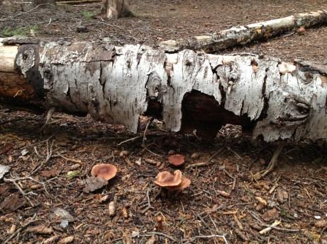 Many mushrooms