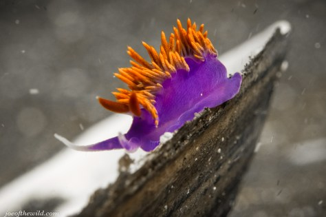 Spanish Shawl nudibranch on half shell. Anacapa Island Sony RX100M2 Subsee 10+ diopter