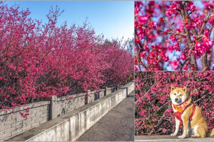 台中賞櫻,烏日分局瑞井派出所,監理所旁的櫻花盛開中。