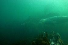 The grey seal, (Halichoerus grypus), in it's underwater kelpy habitat.