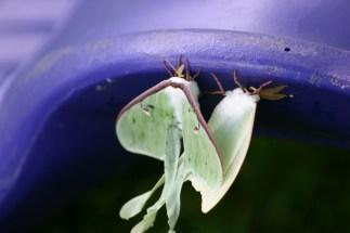 A6-Luna Moths