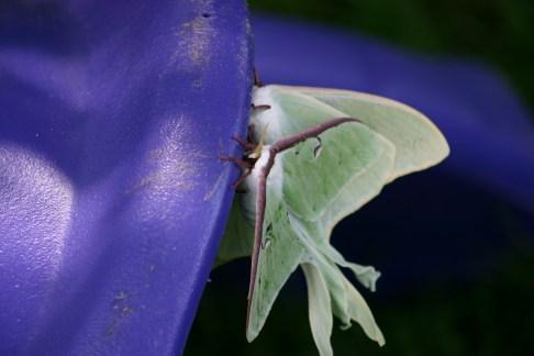 B4-Luna Moths