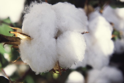 Close-up of cotton