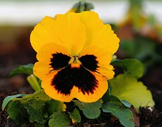 pansy-542943__180