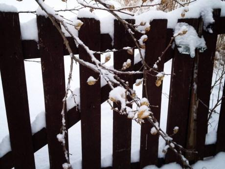 snowy-hibiscus