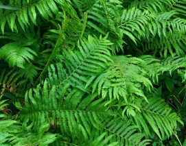 i lurves me ferns