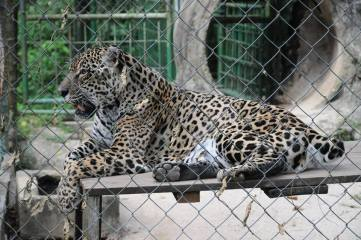 Jaguar at Paramaribo Zoo | Jofelle Tesorio Photography