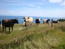 Amused cattle with a lovely view from their grazing spot.