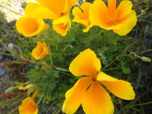 Californian poppies by the toilet at the car park. If you don't have lavender, poppies will have to do! :-)