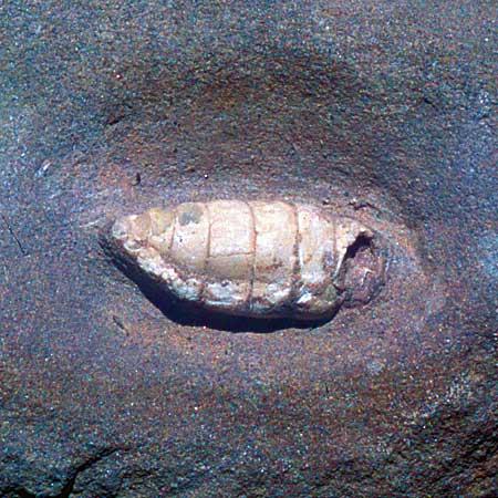 Fossil photo gallery  Joggins Fossil Cliffs Nova Scotia Canada UNESCO World Heritage Site