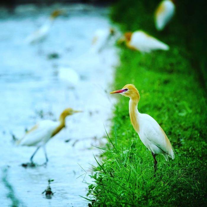 Burung Kuntul Putih di Desa Wisata Ketingan, sumber ig lik_hasan