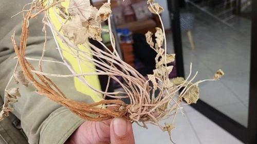 tanaman purwaceng dieng