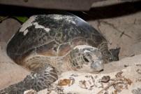 Seekor induk Penyu Lekang menutup sarang setelah mengeluarkan hampir130 butir telur di Pulau Venu
