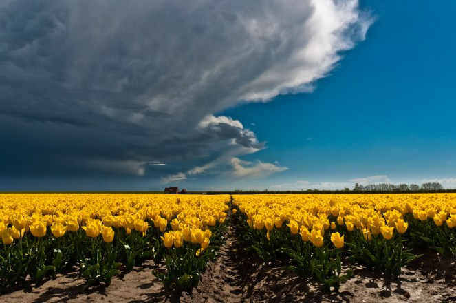 Storm approaching yellow tulips, Goeree Overflakkee (Holland)