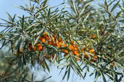 sea-buckthorn-566036_1280