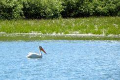 Pelikan i Grand Teton National Park