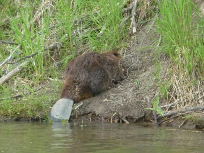 Beaver resting on the bank