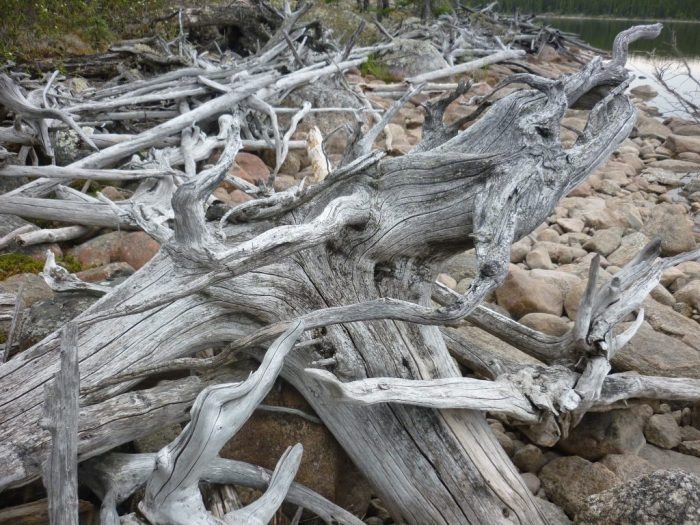 Tangled ice pushed old black spruce littered the shore