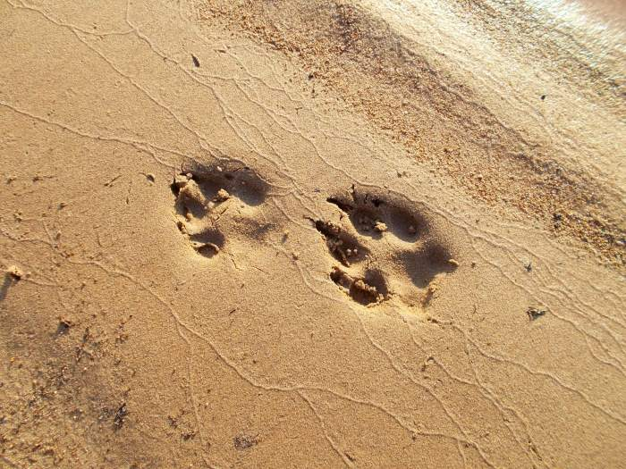 Wolf prints on the beach at our Woldaia Lake camp