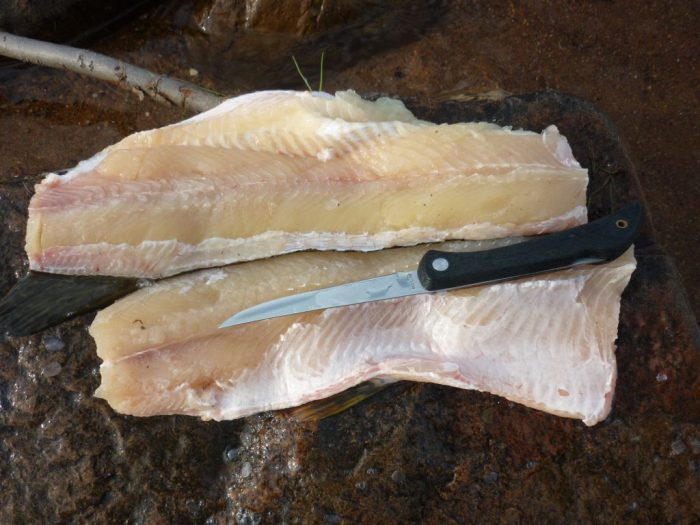 Northern Pike fillets, these fish have a complicated backbone which makes filleting without bones difficult
