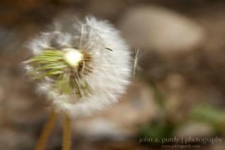 Art-Dandelion