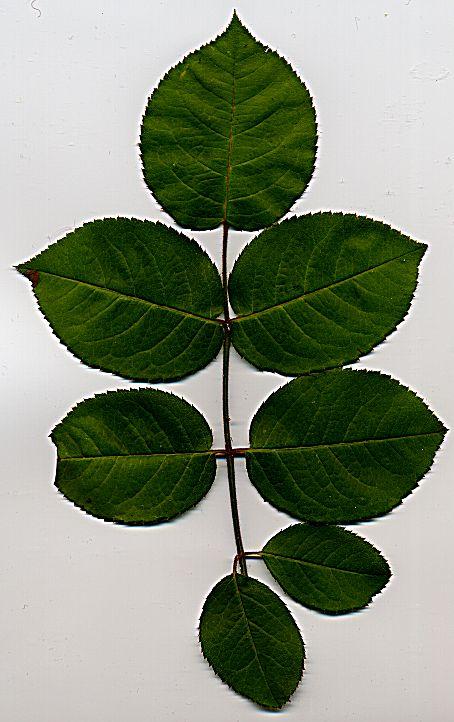 rose_leaf_no_cutting