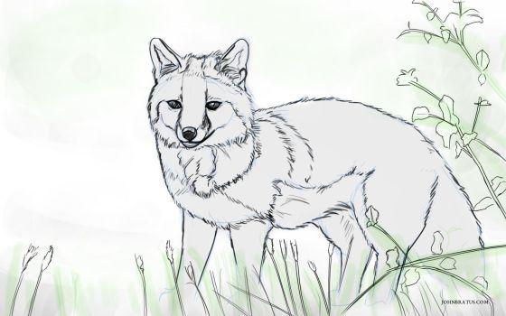 Digital sketch of a grey fox prowling in grassy fields