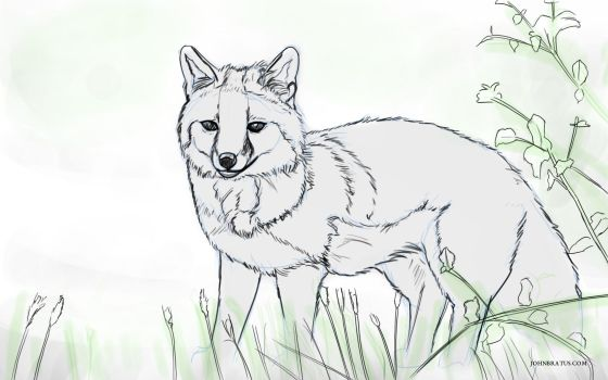 Digital sketch of a grey fox prowling in grassy fields