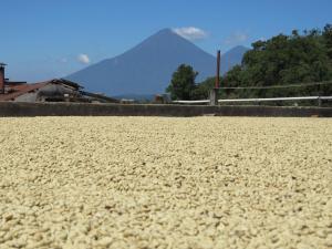 Guatemala landscape behind coffee farm - John Burton Ltd NZ - opt
