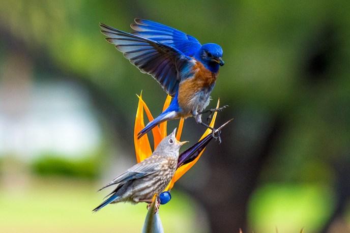 Western-Blue-Bird-John-Chandler