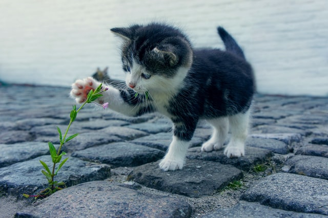 Cute baby kitten plays with a flower